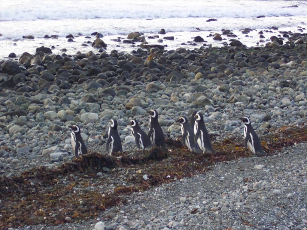 Crucero Australis - Isla Magdalena - Pingüinos deMagallanes